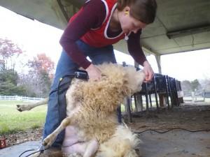 Shearing!