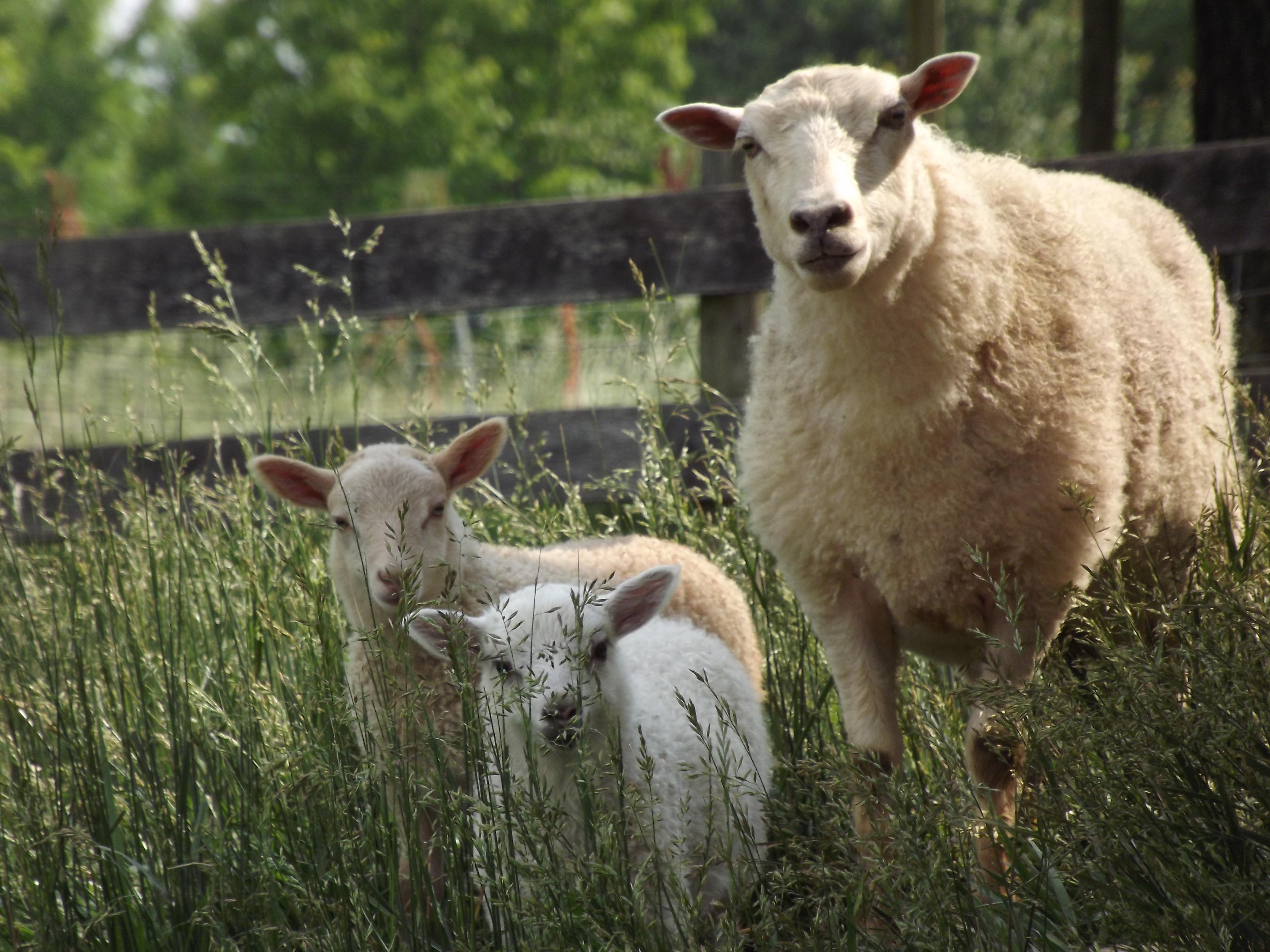 Gwyneth and her lambs